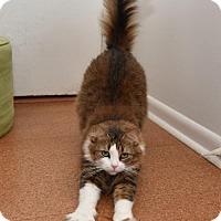 Domestic Longhair Cat for adoption in Savannah, Georgia - Maple