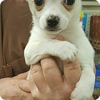 Adopt A Pet :: Lena - Alhambra, CA