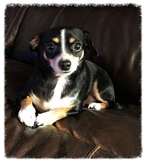 Dachshund/Chihuahua Mix Dog for adoption in Los Alamitos, California - Mickey Mouse