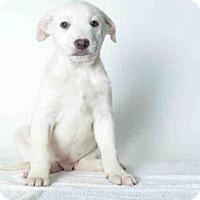 Adopt A Pet :: MAX - Ukiah, CA