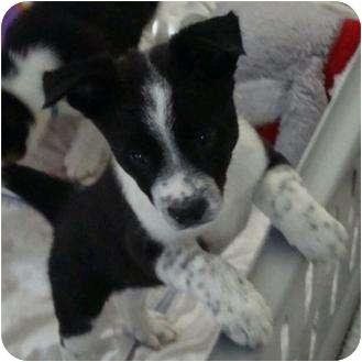 Border Collie/Anatolian Shepherd Mix Puppy for adoption in Phoenix ...