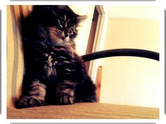 Domestic Mediumhair Kitten for adoption in Toronto, Ontario - Gendry