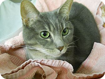 Domestic Shorthair Cat for adoption in Ridgecrest, California - Tabitha