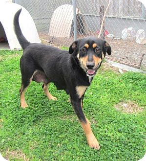 Labrador Retriever/Rottweiler Mix Dog for adoption in Richmond, Virginia - Tara