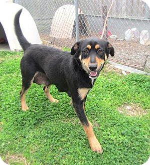 Labrador Retriever/Rottweiler Mix Dog for adoption in Richmond, Virginia - Tara