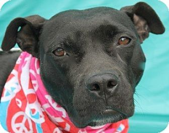 Staffordshire Bull Terrier Mix Dog for adoption in New Roads, Louisiana - Raven