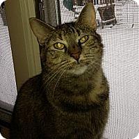 Domestic Shorthair Cat for adoption in New York, New York - Scarlett