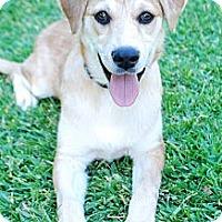 Adopt A Pet :: LACY LU - Torrance, CA