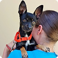Adopt A Pet :: Saucy - Mission Viejo, CA