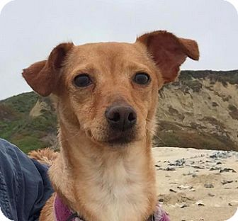 Miniature Pinscher Mix Dog for adoption in San Francisco, California - Penelope