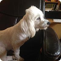 Adopt A Pet :: Cozy/pending - Elkhart, IN