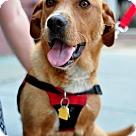 Adopt A Pet :: Amber  (Has application)