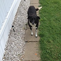 Adopt A Pet :: Baxter (Courtesy Listing from Payneville, KY) - Highland, IL