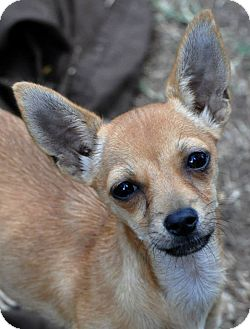 Terrier (Unknown Type, Small)/Chihuahua Mix Puppy for adoption in Lodi, California - Peaches