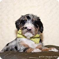 Adopt A Pet :: Lq litter - Danny - APPLICATIONS CLOSED - Livonia, MI