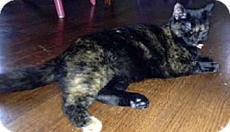Domestic Shorthair Cat for adoption in Olive Branch, Mississippi - Twilight