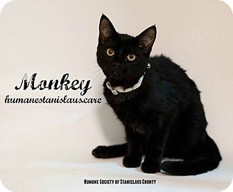 Domestic Shorthair Cat for adoption in Modesto, California - Monkey