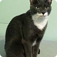 Domestic Shorthair Cat for adoption in Lutherville, Maryland - George