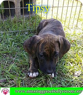 American Pit Bull Terrier Mix Dog for adoption in Pensacola, Florida - Tipsy