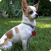 Chihuahua Mix Dog for adoption in yuba city, California - Lilah LouLou