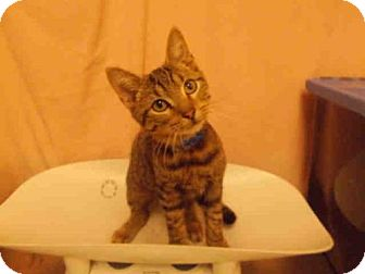 Domestic Shorthair Kitten for adoption in Upper Marlboro, Maryland - *PEANUT