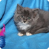 Domestic Mediumhair Kitten for adoption in EASTPOINTE, Michigan - STETSON--**adopted**