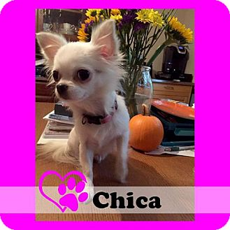 Chihuahua Dog for adoption in Medford, New Jersey - Chica