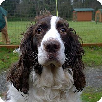 English Springer Spaniel Dog for adoption in Seattle c/o Kingston 98346/ Washington State, Washington - Mocha