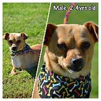 Chihuahua/Toy Fox Terrier Mix Dog for adoption in Boerne, Texas - Elliott