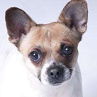 Adopt A Pet :: Pumpkin - Chicago, IL