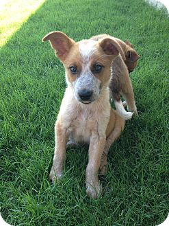 Australian Cattle Dog Mix Puppy for adoption in Arlington, Texas - Hami