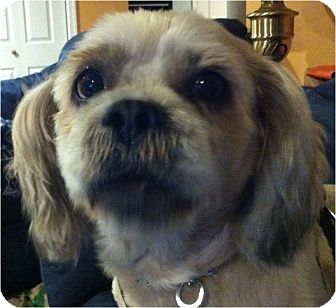 Lhasa Apso Dog for adoption in Mays Landing, New Jersey - Cowboy-PA
