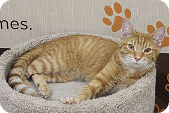 Domestic Shorthair Kitten for adoption in West Dundee, Illinois - R J