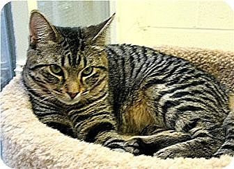 Domestic Mediumhair Cat for adoption in Huntington, New York - Prince 2