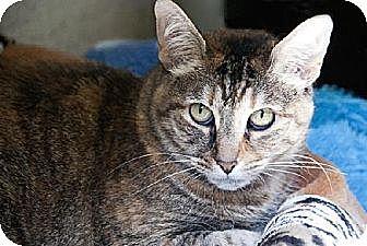 Domestic Mediumhair Cat for adoption in Seal Beach, California - Mo
