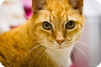Domestic Shorthair Cat for adoption in Bulverde, Texas - Morris