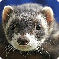 Adopt A Pet :: Ferret - Hazel Park, MI