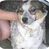 Adopt A Pet :: Chloe - Heeler - Alliance, OH