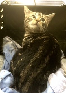 Domestic Shorthair Kitten for adoption in Turnersville, New Jersey - Anna H