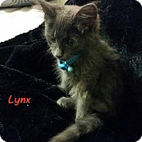 Adopt A Pet :: Lynx - McDonough, GA