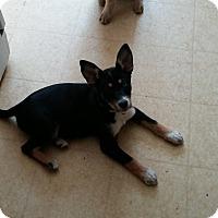 Adopt A Pet :: Dutch - Flemington, NJ