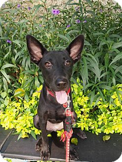 Shepherd (Unknown Type) Mix Puppy for adoption in Sunnyvale, California - Manny