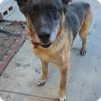 Adopt A Pet :: Bradley - Seattle, WA