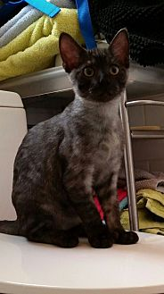 Domestic Shorthair Cat for adoption in Ortonville, Michigan - Friday