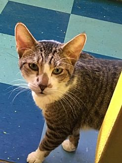 American Shorthair Cat for adoption in Los Angeles, California - Rascal