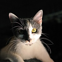 American Shorthair Cat for adoption in Tanner, Alabama - Bobbi