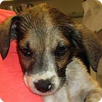 Adopt A Pet :: Sali - Sakura Pup - Clear Lake, IA