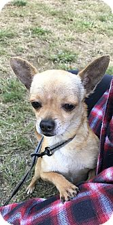 Chihuahua Puppy for adoption in Tumwater, Washington - Simba