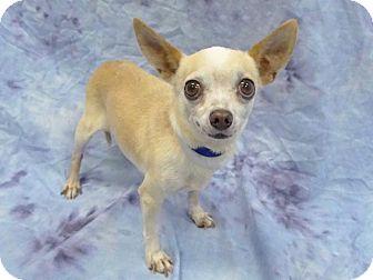Chihuahua Mix Dog for adoption in Hawthorne, California - Dante