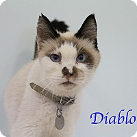 Adopt A Pet :: Diablo - Bradenton, FL